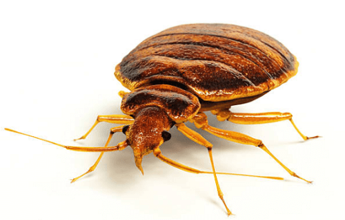 Bed Bug Exterminator Saginaw, MI