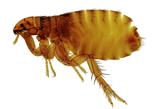 Flea Exterminator Roanoke, VA