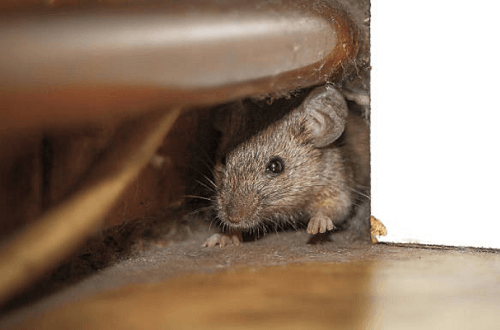 Mice Exterminator New Albany, MS