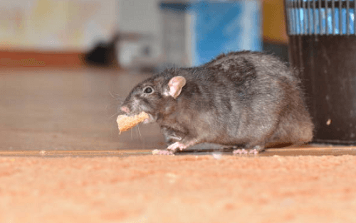 Rat Exterminator Beaverton, OR