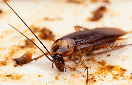 Cockroach Exterminator Normal, IL