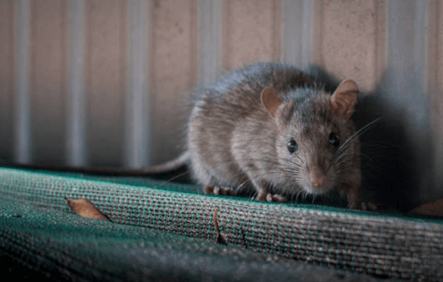 Rodent Exterminator Colorado Springs, CO